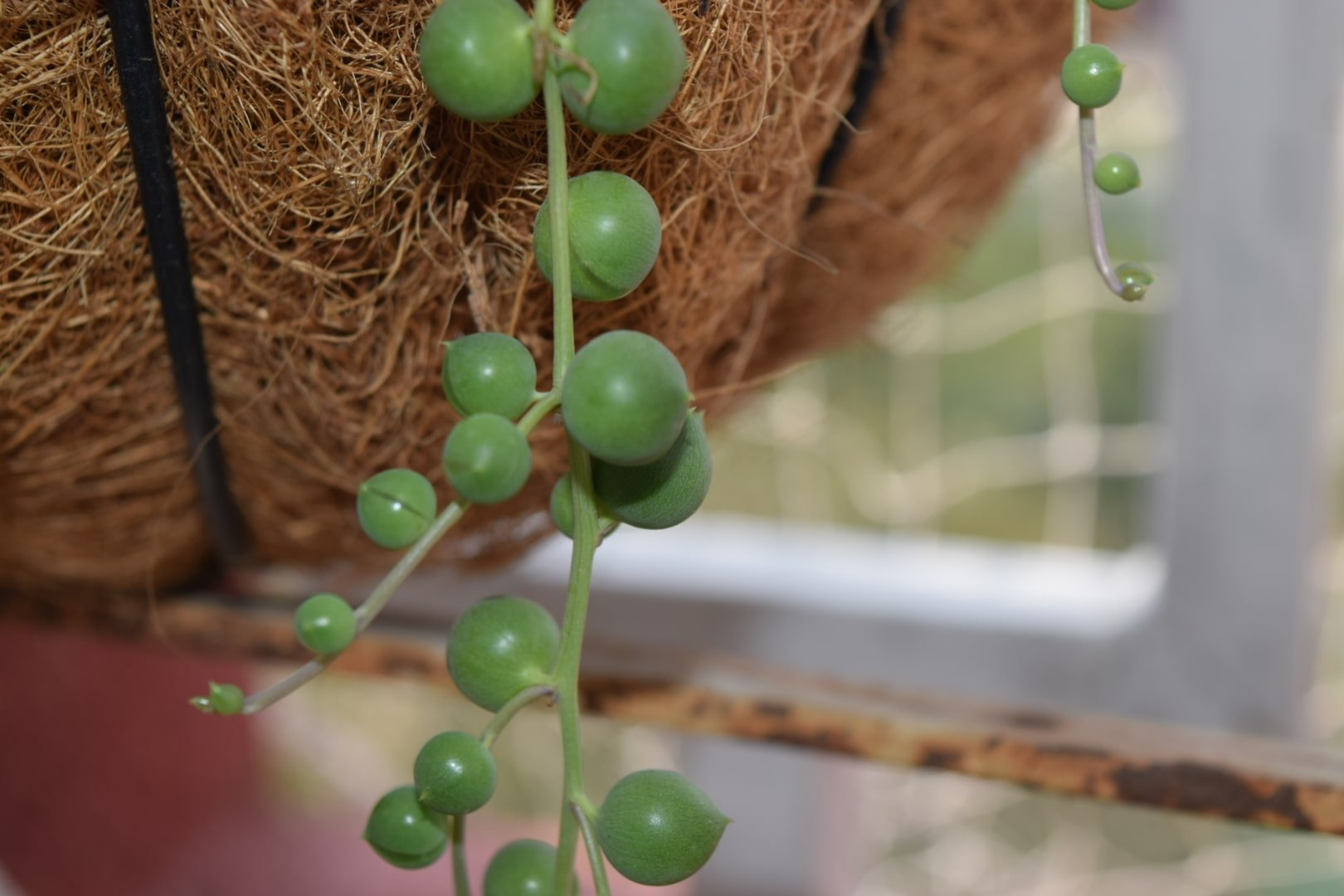 String Of Pearls Plant Complete Care Guide Tips