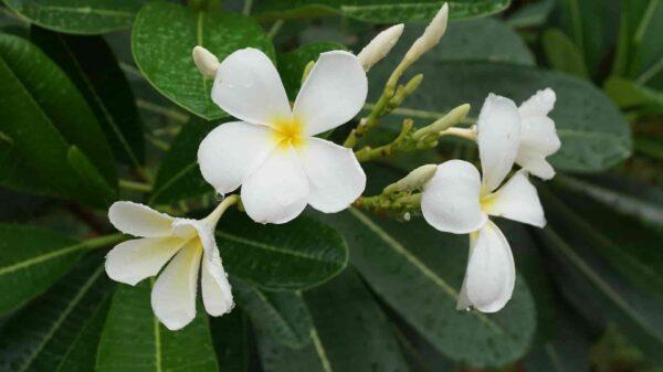 Champa-Plant
