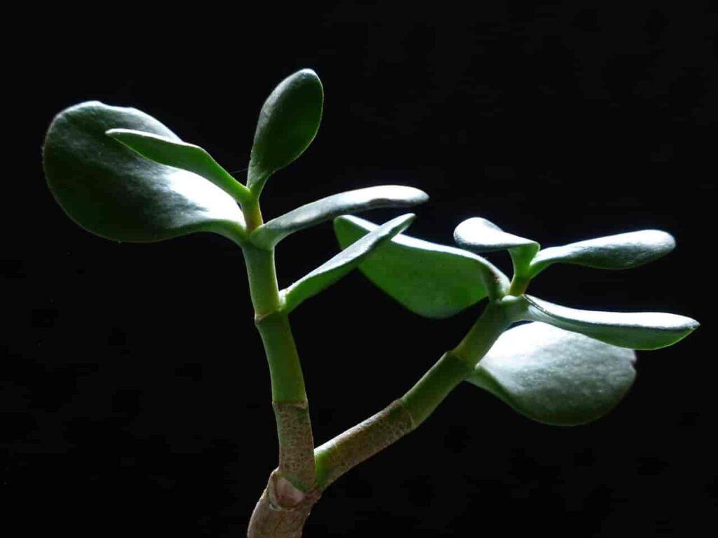 Crassula Jade Plant Lucky Plants for Home