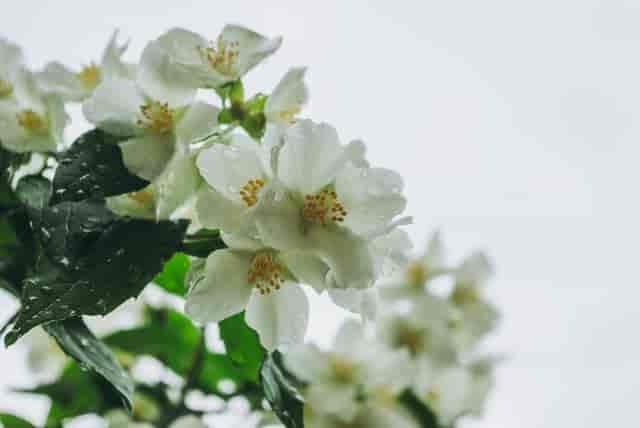 Jasmine Plant Good Luck