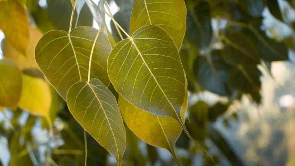Peepal Tree Leaf