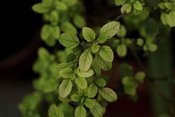 Tulsi-Plant-Care-Guide-Basil Plant